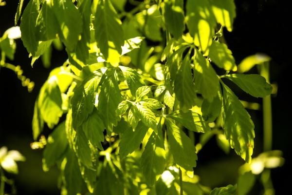 jiaogulan chinese herb for longevity