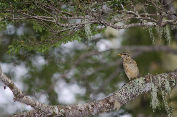 magellan thrush turdus falcklandii magellanicus on