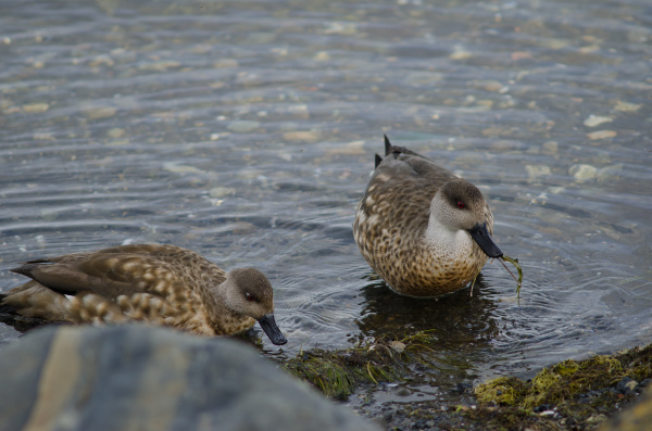 patagonian crested ducks in the coast