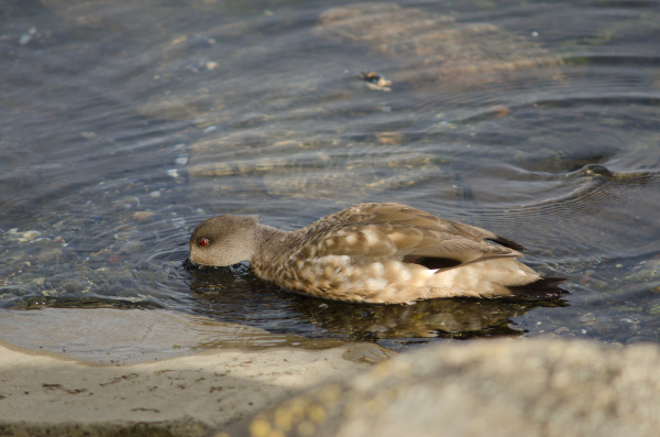 patagonian crested duck in the coast