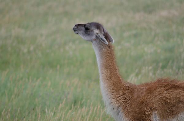 guanaco lama guanicoe smelling in a