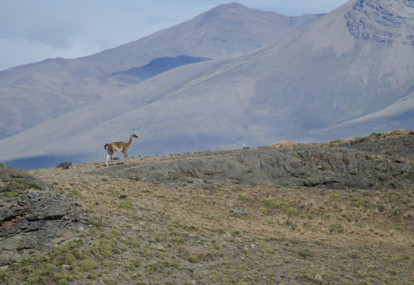 guanaco in torres del paine national