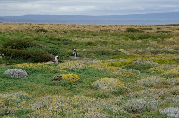 magellanic penguins spheniscus magellanicus in the