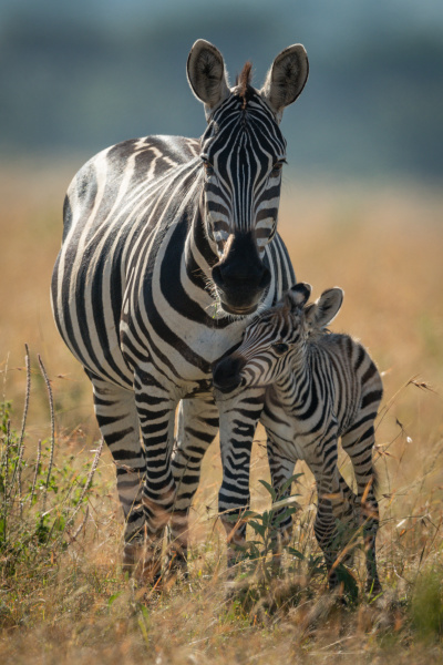 plains zebra and foal stand eyeing