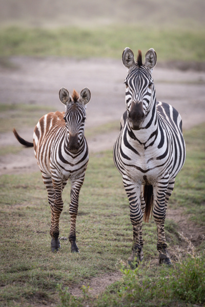 plains zebra and foal stand looking