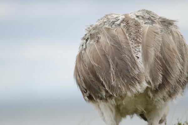 back view of a darwins rhea