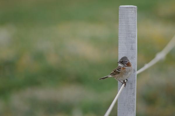 rufous collared sparrow zonotrichia capensis perched