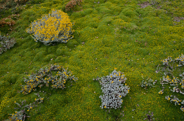 plants of senecio sp and ground