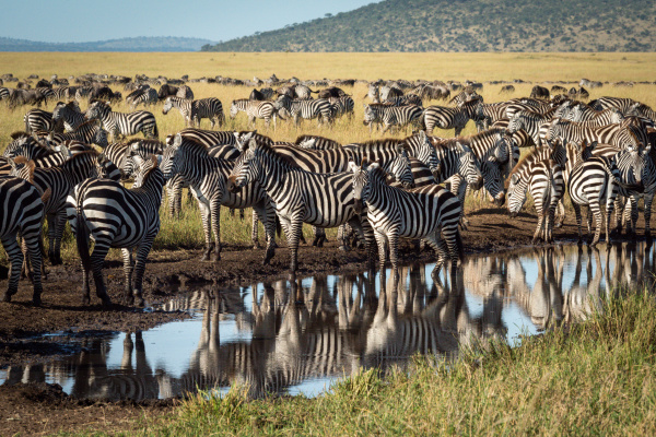 plains zebra stand around puddle on