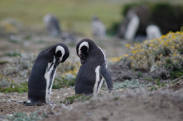 magellanic penguins spheniscus magellanicus preening in