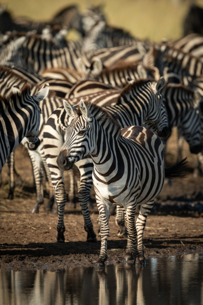 plains zebra stands by puddle eyeing