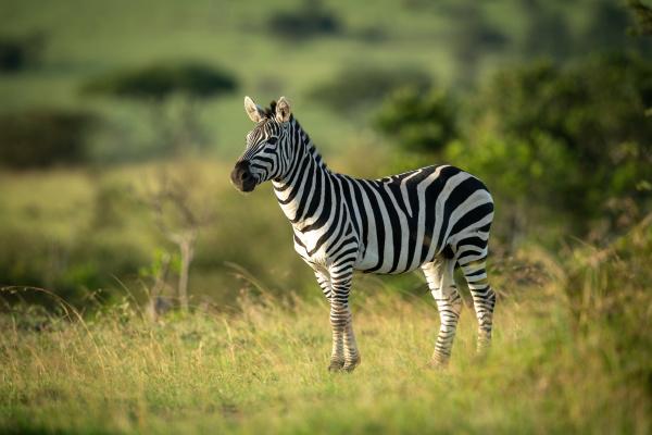 plains zebra stands eyeing camera in
