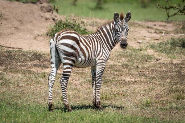 plains zebra stands eyeing camera near