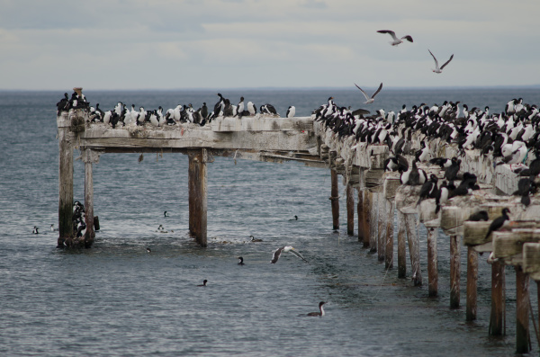 imperial shags leucocarbo atriceps in the