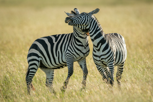 plains zebras play fight in tall