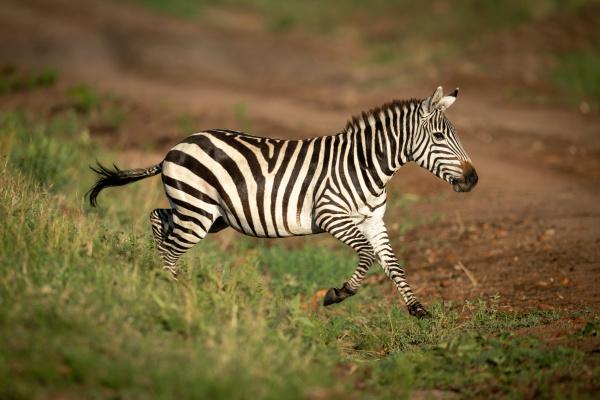 plains zebra jumps over ditch onto