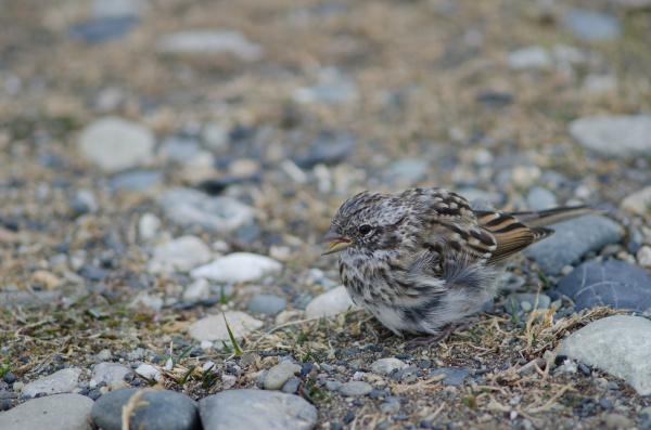 juvenile rufous collared sparrow in the