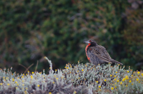 long tailed meadowlark leistes loyca on