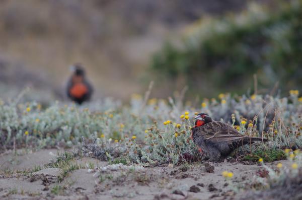 long tailed meadowlarks leistes loyca on