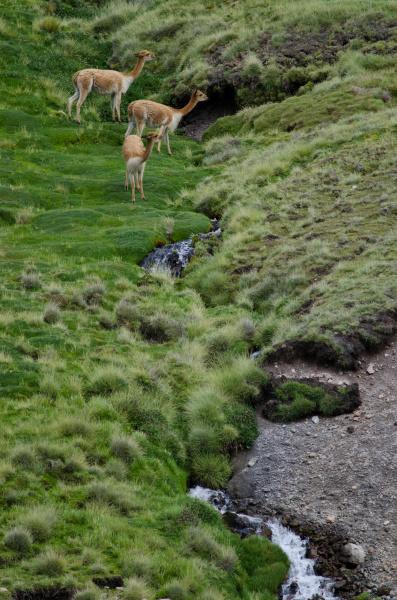 vicunas vicugna vicugna in lauca national