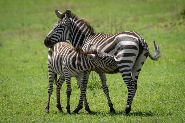 plains zebra stands nursing foal in
