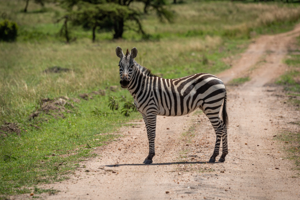 plains zebra stands on track watching