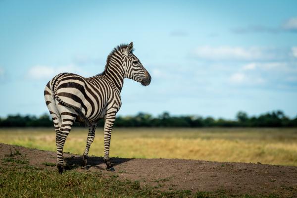 plains zebra stands on bank facing