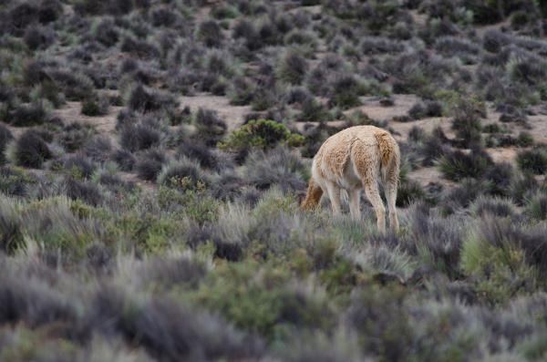 vicuna vicugna vicugna grazing in lauca