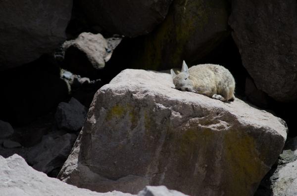 southern viscacha lagidium viscacia sunbathing on