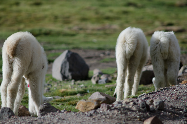 back view of young alpacas vicugna