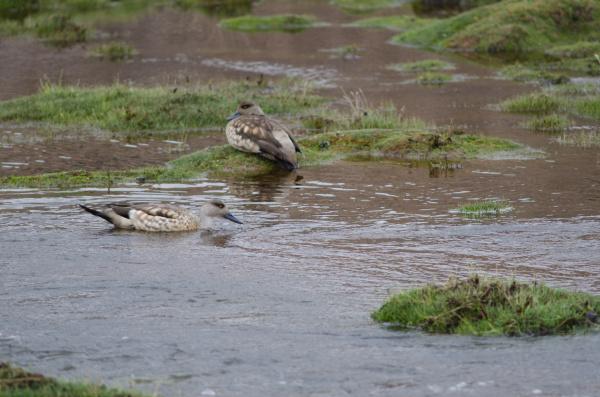 andean, crested, ducks, lophonetta, specularioides, alticola - 28257678