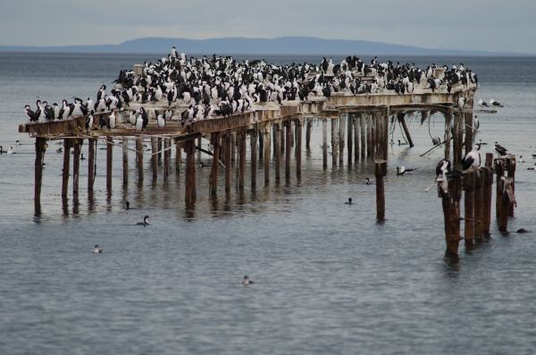 imperial, shags, in, the, coast, of - 28257633