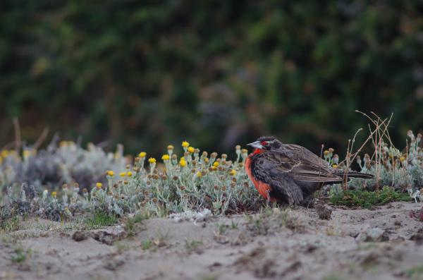 long-tailed, meadowlark, leistes, loyca, on, the - 28257596