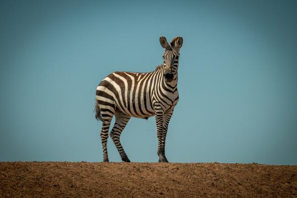 plains, zebra, stands, urinating, on, sunlit - 28257545