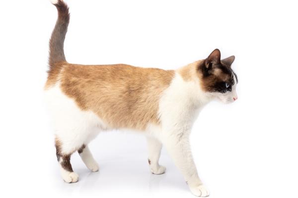 siamese, and, ragdoll, cross, cat, walking - 28257623