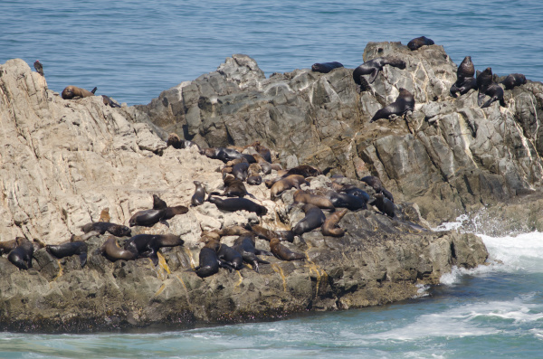 south american sea lions on a