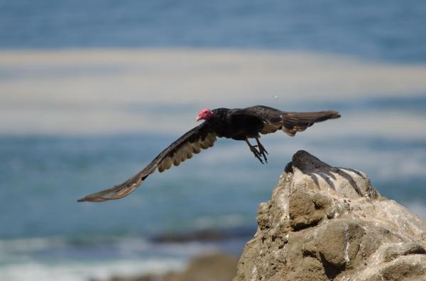 turkey, vulture, cathartes, aura, taking, flight - 28258116