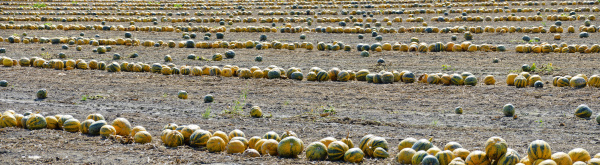 field with oil pumpkins