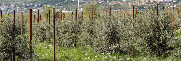 plantation with young olive trees