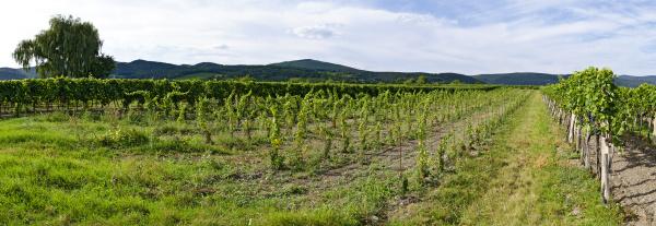 new planted vineyard