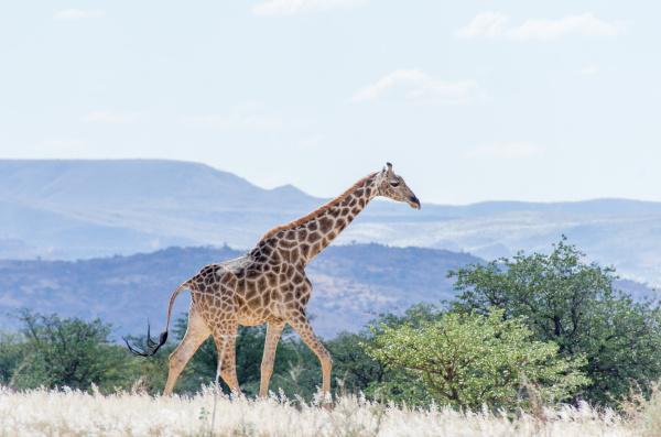 giraffe walking across the savannah