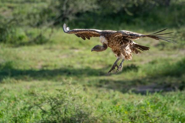 ruppell griffon vulture glides towards grass