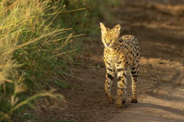 serval walks on dirt track with