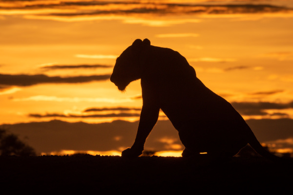 silhouette of lioness getting up at