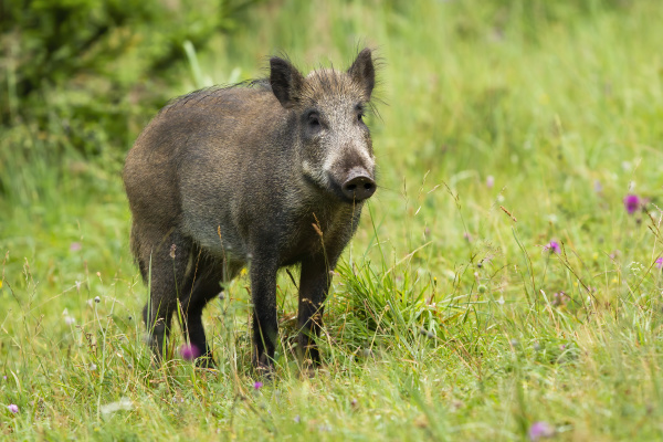 calm adult wild boar looking on