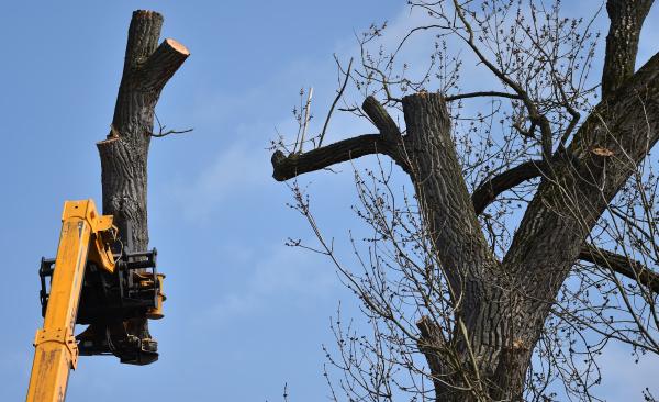 cut down poplar