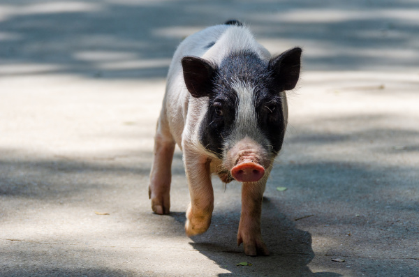 frontal view of cute baby pig