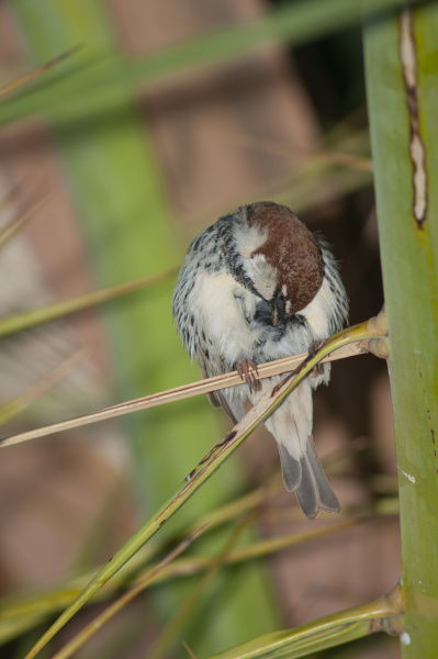 male spanish sparrow preening on a