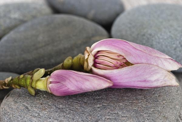magnolia flower and grey pebble
