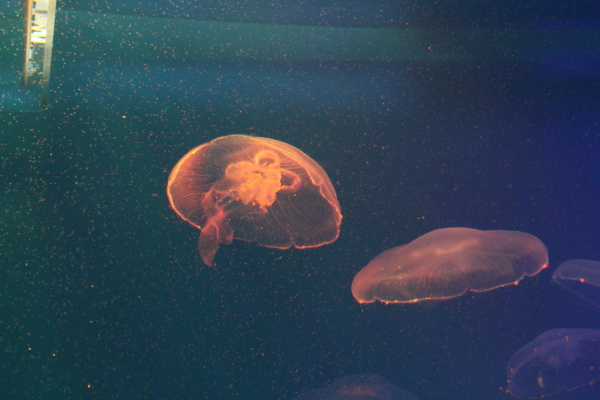 jellyfish in the sea illuminated by